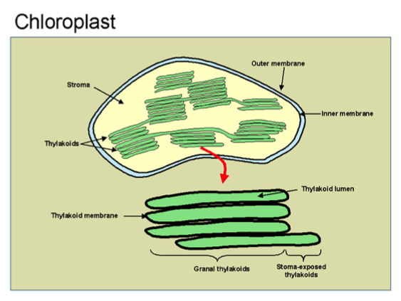 Apbio one student to another photosynthesis converts light energy to the chemical energy of food ccuart Choice Image